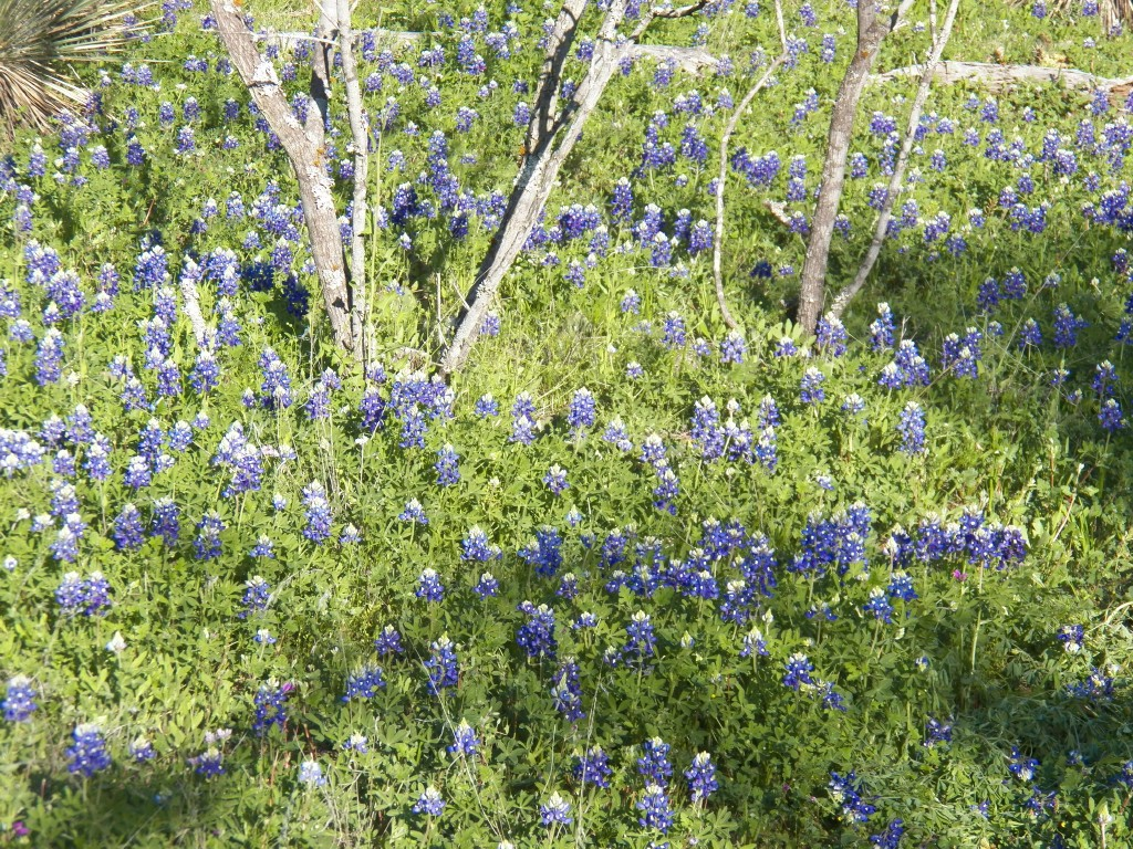 Blue bonnets n cactus outdoor odyssey after all we had a lot of bluebonnets on our place a real beautiful flower our state flower that always reminds me of my aunt lenora bryan peters izmirmasajfo