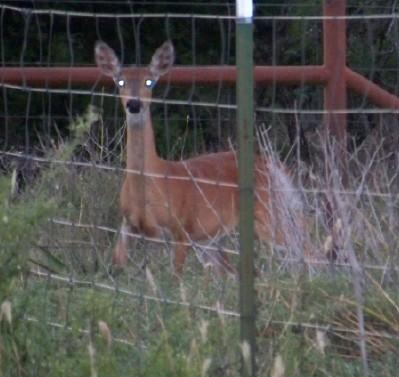 Deer7-20-08