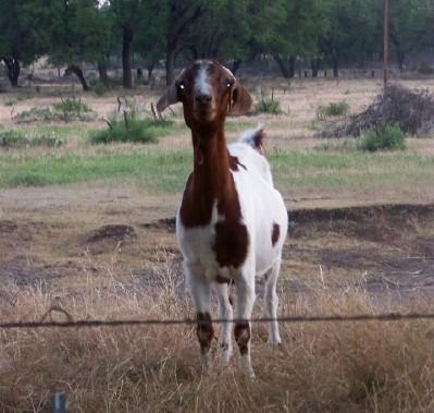 GoatMorningWalk7-29-08