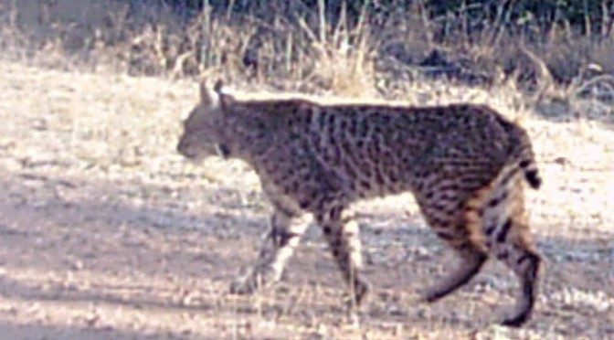 Gobblers And Bobcats